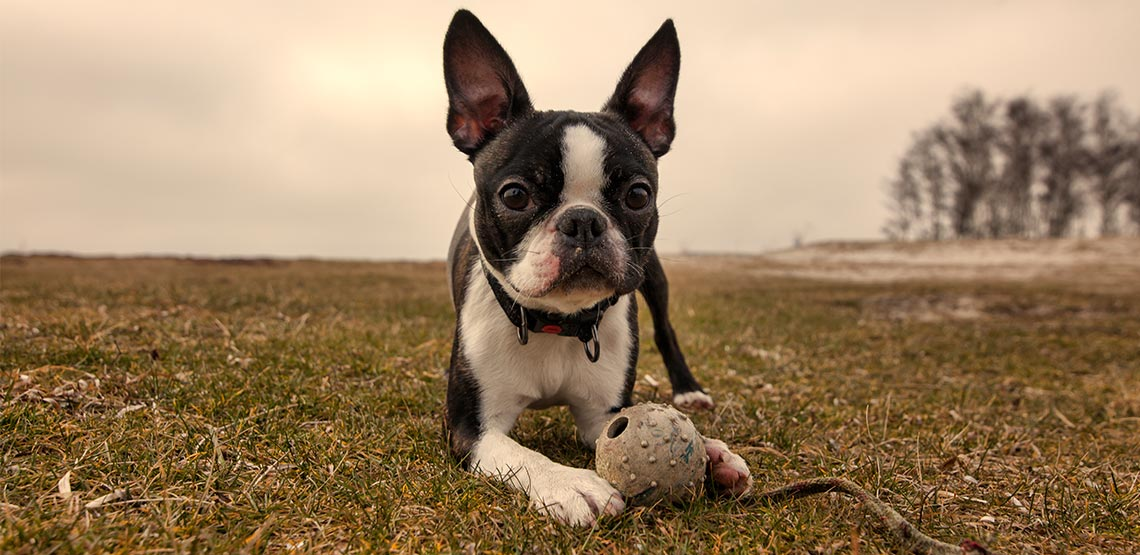 Boston Terrier A Guide To The Quintessential American Dog