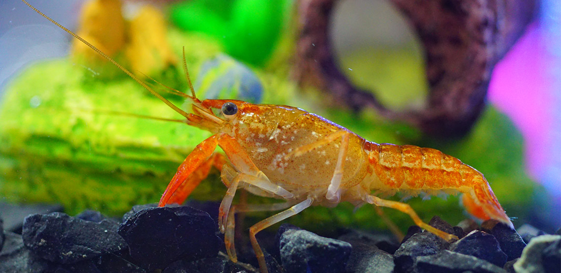 Crayfish A Guide To Owning This Reclusive Aquarium Pet