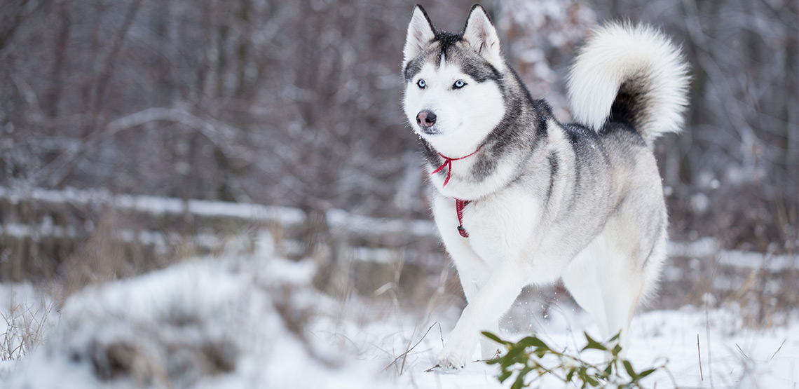 Husky A Guide To This Resilient Energetic Breed
