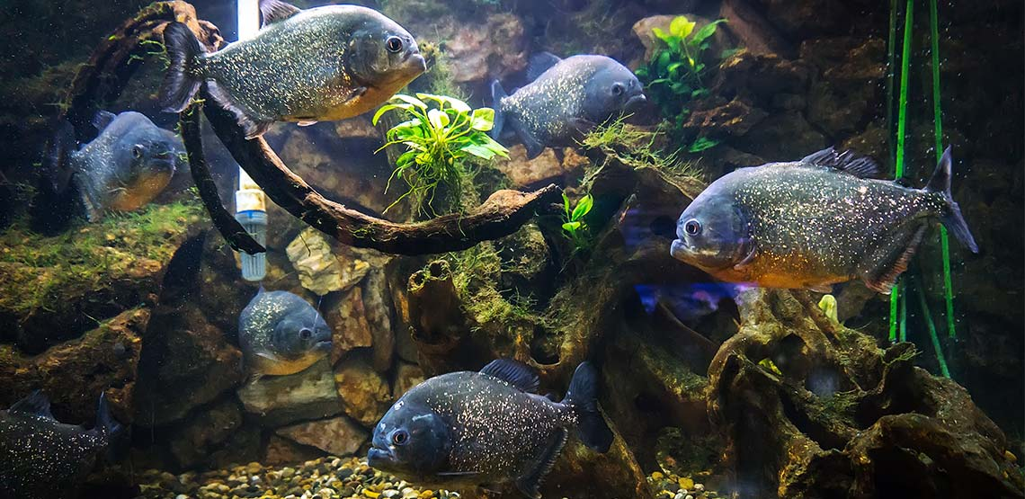 Piranhas A Guide To Owning This Omnivorous Type Of Fish