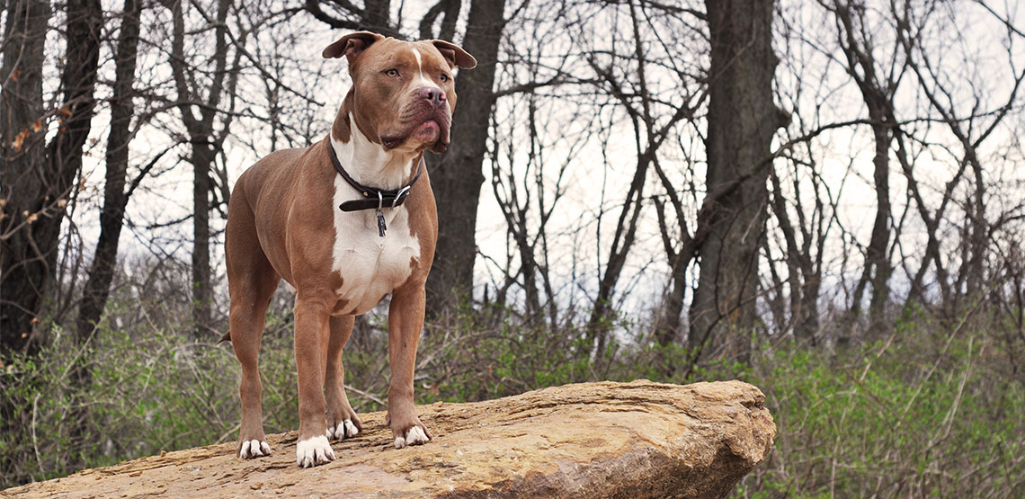 a misunderstood breed A misunderstood breed jenna brennan brown mackie college a misunderstood breed did you know american pit bull terriers were the most popular family dog in the 20th.