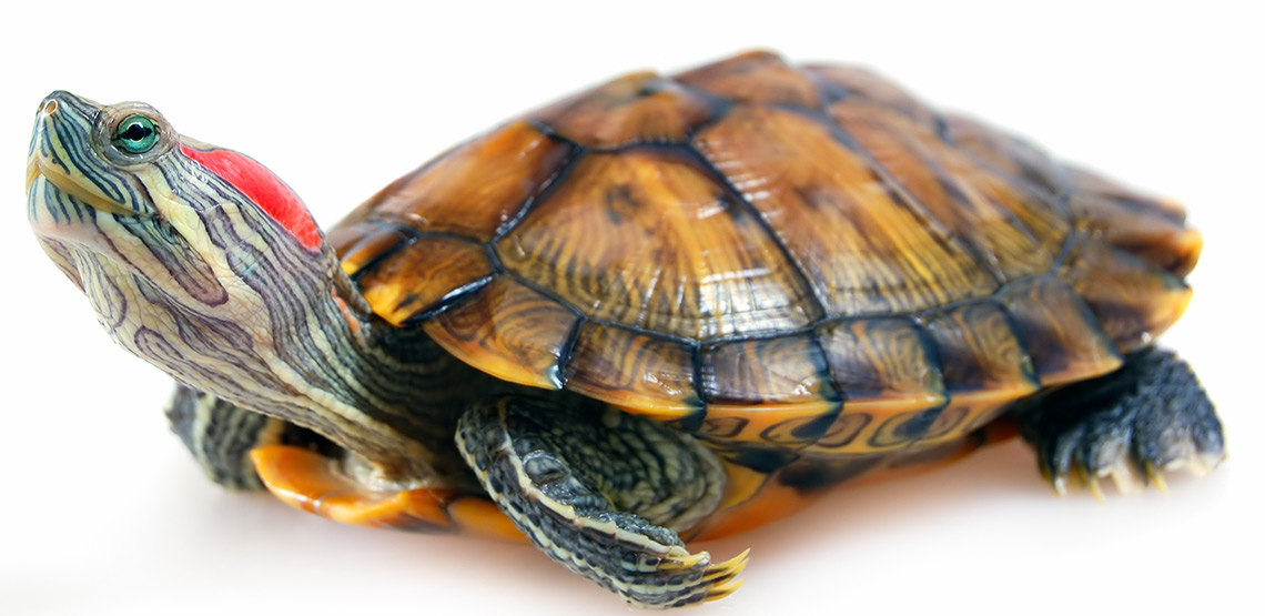 Red Eared Sliders: A Guide to This Shy Breed of Turtles
