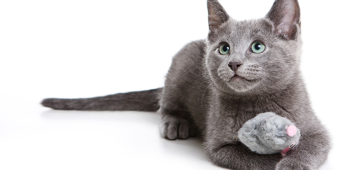 Russian Blue A Guide To The Most Sought After Cat Breed