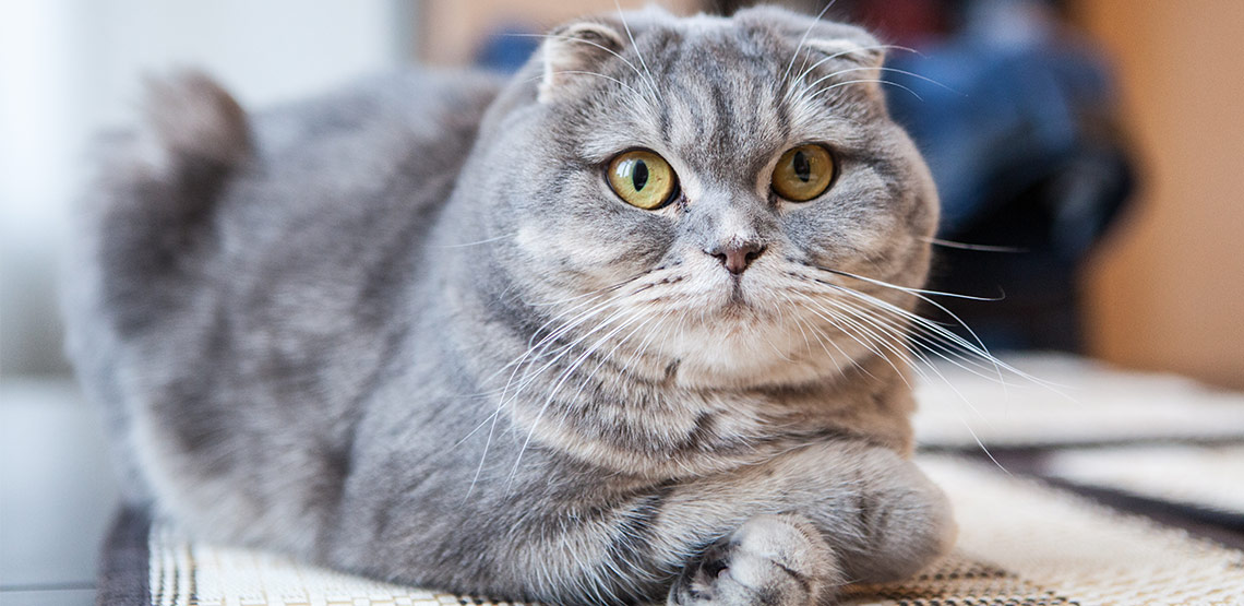 Scottish Fold A Guide To This Sweet Affectionate Cat Breed