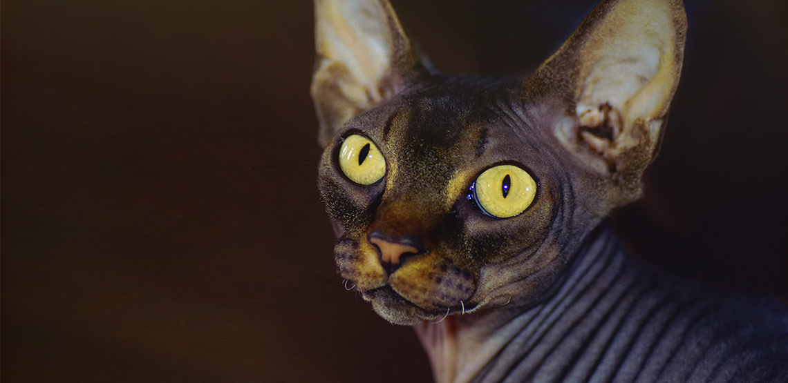 Sphynx Cat: A Guide to the Unique Hairless Cat Breed